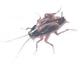 intervention professionnelle pour limination blattes et cafards hdi. Black Bedroom Furniture Sets. Home Design Ideas